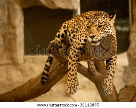Leopard (Tiger) deep sleep on the tree. - stock photo