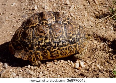 leopard tortoise Geochelone Pardalis Serengeti National Park Tanzania - stock photo