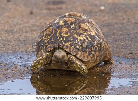 Leopard Tortoise Near Water Puddle - stock photo