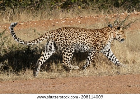 Leopard trotting on the African plains
