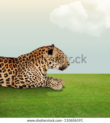 Leopard   under the sky with cloud on grass floor