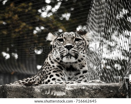 Leopard waiting on the rocks, Black and White