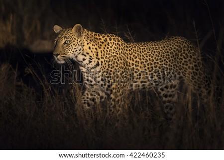 Leopard walking in darkness hunting nocturnal prey in a spotlight - stock photo