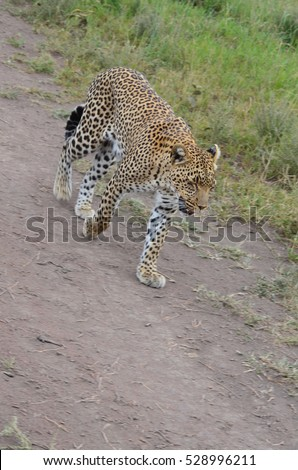 Leopard walking in the bush in Serengeti National Park in Tanzania Eastern Africa