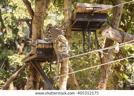 Leopard walking on the robe in the zoo - stock photo