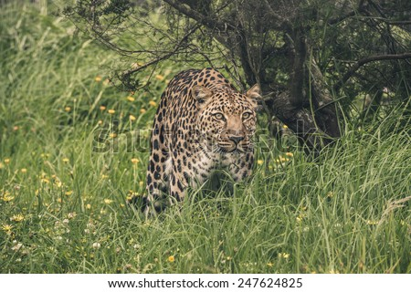 Leopard walking through high grass. Tenikwa wildlife sanctuary. Plettenberg Bay. South Africa. - stock photo
