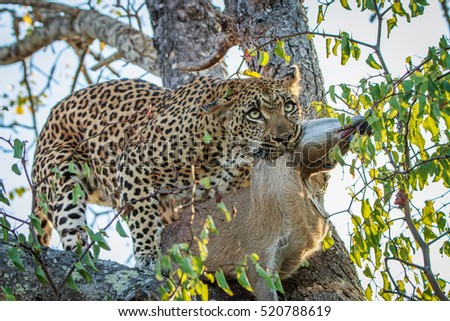 Leopard with a Duiker kill in the Kruger National Park, South Africa.