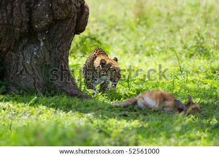 Leopard with killed antelope in Serengeti national park in Tanzania