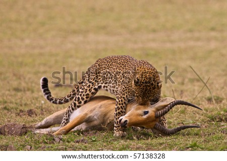 Leopard with killed puku - stock photo