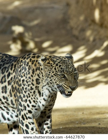 Leopard with mouth open