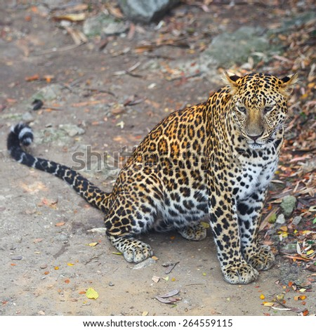 leopard with shallow depth of field - stock photo