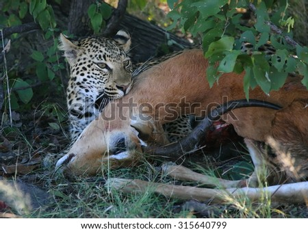 Leopard young with Impala prey - stock photo