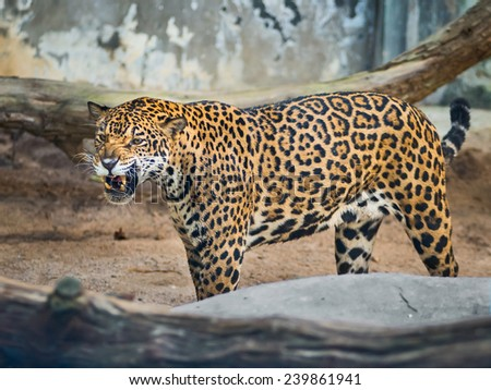 Leopards walk in the zoo - stock photo