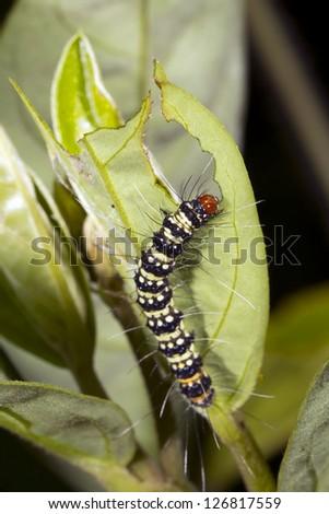 Lepidopteran caterpillar eating a leaf in the rainforest, Ecuador - stock photo