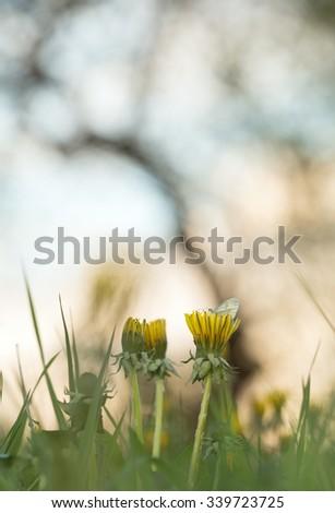 Leptidea butterfly resting on dandelion - stock photo