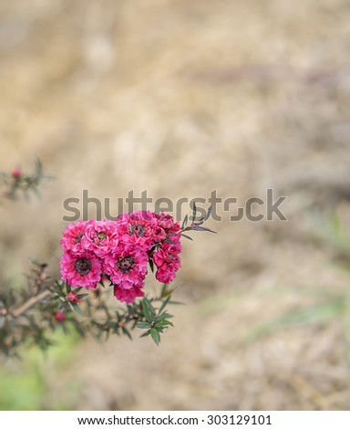 Leptospermum scoparium Burgundy, red small Australian native wild flowers flowering in winter  - stock photo