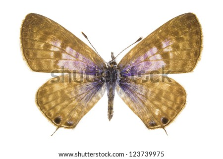 Leptotes pirithous (Lang's Short-tailed Blue) butterfly isolated on white background. - stock photo