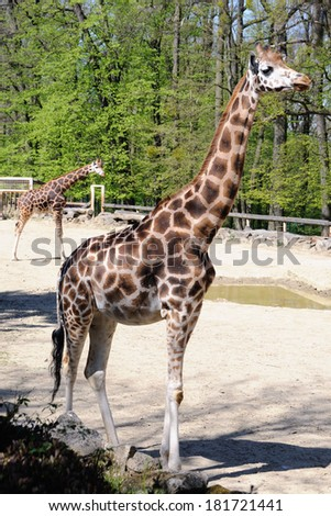 Lesna - giraffe - stock photo