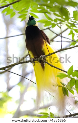 Lesser Bird of Paradise or Paradisaea minor. One Of the most exotic birds in Papua New Guinea. - stock photo