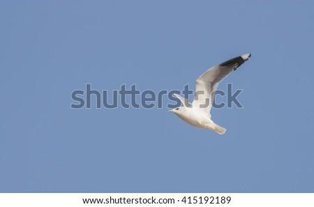Lesser Black-backed Gull - stock photo