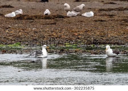 Lesser Black Backed Gull bathing in a Scottish Loch - stock photo