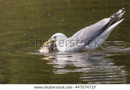 Lesser Black-backed Gull fish in its beak - stock photo