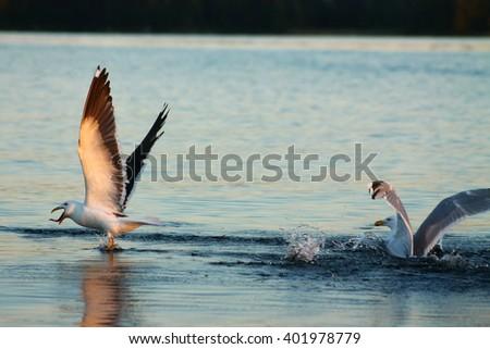 Lesser Black-backed gull has a snake tongue? No. This Lesser Black-backed gull has caught a fish and swallows it immediately - stock photo
