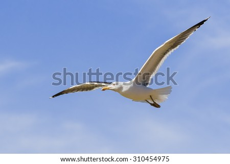Lesser Black-Backed Gull in a blue sky. A Lesser-Black-Backed Gull appears to enjoy the Spring sunshine as it flies by. - stock photo