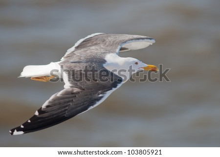 Lesser Black-backed Gull in flight