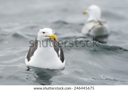 Lesser black-backed gull in water with a second one in background. - stock photo
