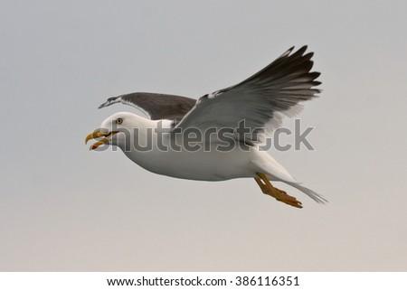 Lesser Black-backed Gull (Larus fuscus) - stock photo