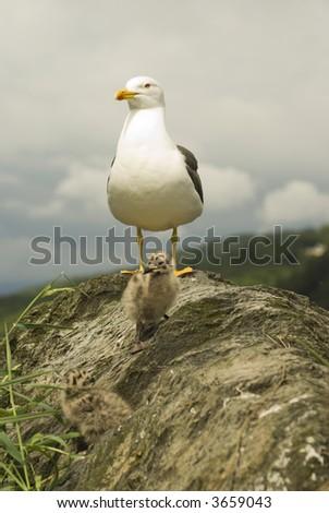 Lesser Black-backed Gull (Larus Fuscus) & Chicks - portrait orientation - stock photo