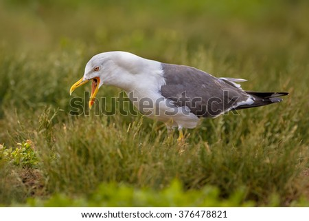 Lesser black-backed gull (Larus fuscus) displaying in breeding territory in a colony on Farne islands, United Kingdom - stock photo