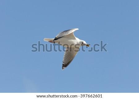 Lesser (black-backed) gull (Larus fuscus) on flight - stock photo