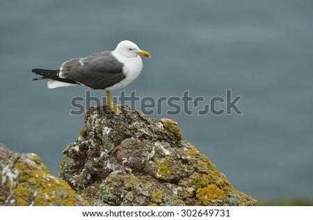 Lesser Black-backed Gull - Larus fuscuson Lichen covered rock - stock photo