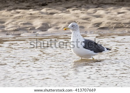 Lesser Black Backed gull (Larus fuscus) standing in shallow water against a sandy estuarine background - stock photo