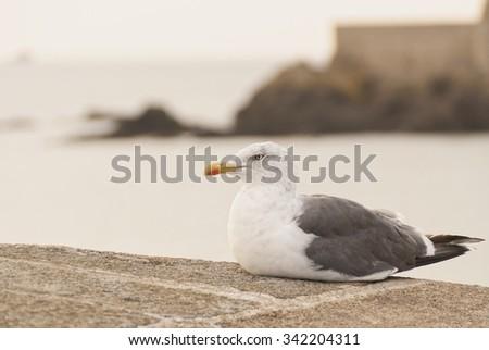 Lesser Black-backed gull on France - stock photo