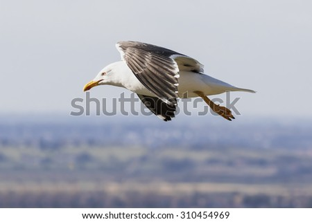 Lesser Black-Backed Gull passing by. A Lesser Black-Backed Gull is seen high over the land as it passes by. - stock photo