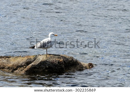 Lesser Black Backed Gull stood on rock in a Scottish Loch - stock photo