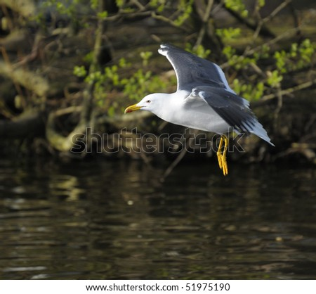 Lesser Black-backed gull suspending on a lake with open wing - stock photo
