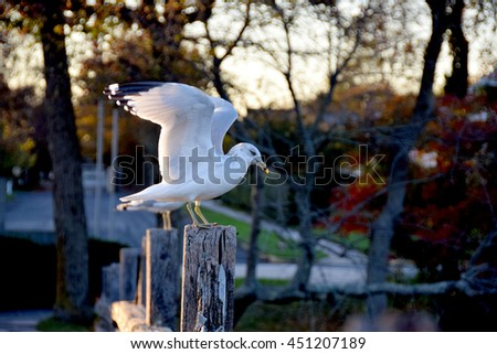 Lesser Black-backed Gull,wings outspread - stock photo
