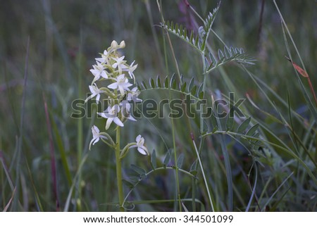 Lesser butterfly-orchid (Platanthera bifolia) growing at meadow side by side with tufted vetch. Photographed at Helgeland coast, Nordland, Norway.  - stock photo