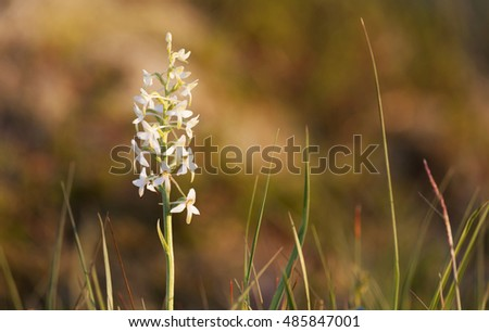 Lesser butterfly-orchid (Platanthera bifolia) in evening sunlight. Photographed in Nordland, Norway.