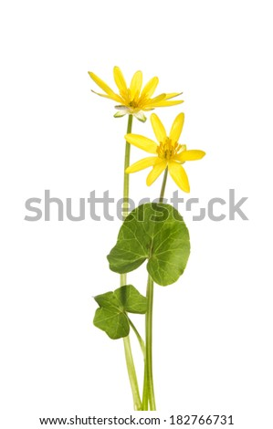 Lesser celandine (Ranunculus ficaria), flowers and foliage isolated against white - stock photo