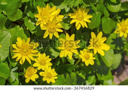 Lesser celandine (Ranunculus ficaria) flowers in early spring - stock photo