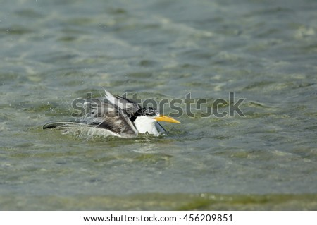 Lesser crested tern bathing