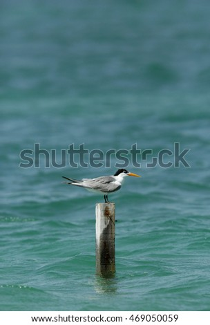 Lesser Crested Tern perched on wooden log
