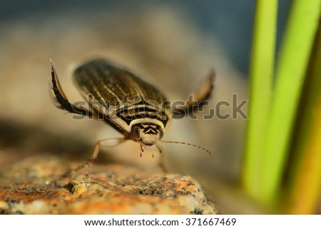 Lesser diving beetle (Acilius sulcatus) holding to stone captured under water in the small lake. Colorful background - green reed, blue, brown stone. - stock photo