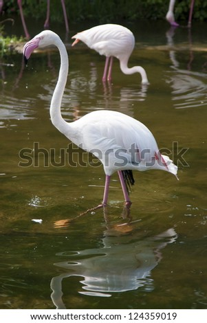 Lesser Flamingo in natural habitat,Phoeniconais minor - stock photo