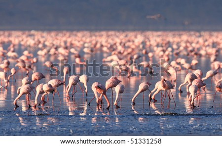 Lesser Flamingo, Lake Nakuru National Park, Kenya - stock photo